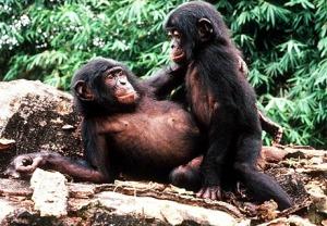 Bonobo females